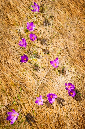 Wild spring crocuses growing at valley over hay background photo