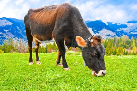 flesh: Cow eating grass on meadow at mountains landscape over blue sky Stock Photo