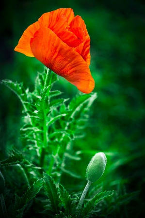 Poppy flower  Big decorative poppy growth in garden photo
