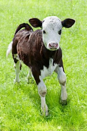 calf: Farm animal  Little calf playing on meadow Stock Photo