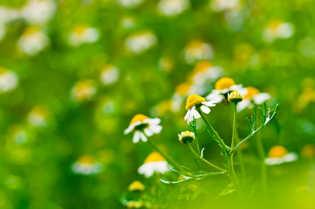 Medicine chamomile flower at field background. Selective focus, shallow depth of field photo