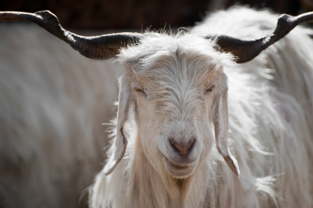 mountain goat: White kashmir (pashmina) goat from Indian highland farm in Ladakh Stock Photo