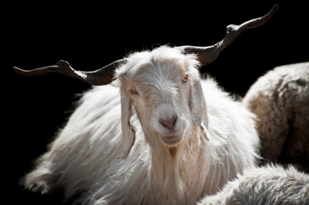 kashmir: White kashmir (pashmina) goat from Indian highland farm in Ladakh Stock Photo