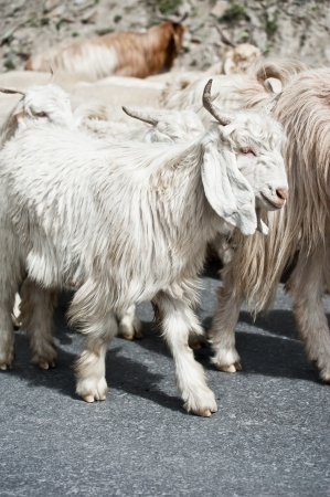 mountain goat: White kashmir (pashmina) goat from Indian highland farm in Ladakh going with herd Stock Photo