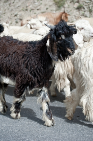 Black kashmir (pashmina) goat from Indian highland farm in Ladakh going with herd photo