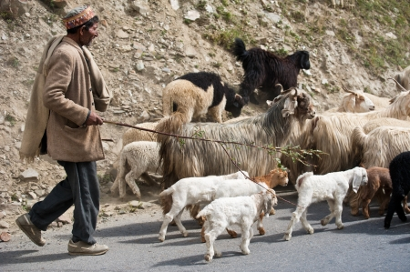 INDIA,  LAHOUL VALLEY - SEPTEMBER 5. Himalayan shepherd from Lahoul Valley leads his goat and sheep flock. India, Himachal Pradesh, Lahoul Valley September 5, 2012 Stock Photo - 16286422