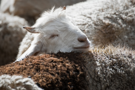 White kashmir (pashmina) goat from Indian highland field in Ladakh Stock Photo - 16355477