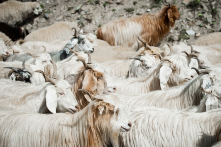 mountain goat: Herd of kashmir (pashmina) goats from Indian highland field in Ladakh
