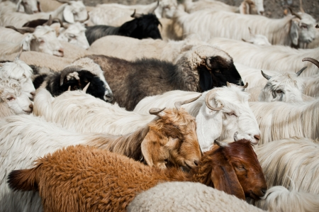 Herd of sheep and kashmir (pashmina) goats from Indian highland field in Ladakh Stock Photo - 16355471