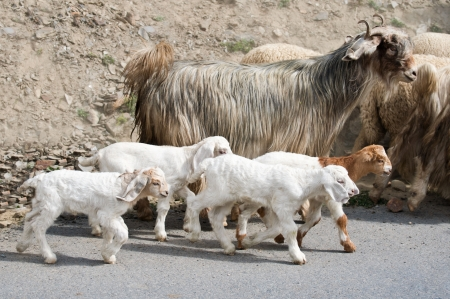 Kids goat and kashmir (pashmina) goats from Indian highland field in Ladakh going with herd Stock Photo - 16355472