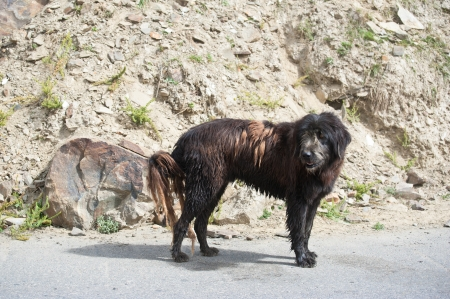 Himalayan herding dog from Lahoul Valley leads goat and sheep flock Stock Photo - 16355474