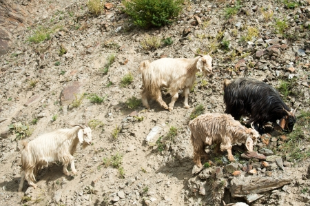 Herd of kashmir (pashmina) goats from Indian highland field in Ladakh Stock Photo - 16355476