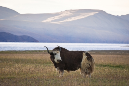Yak grazing in meadow at Himalaya mountains. Dawn at Tso Moriri Lake. India, Ladakh, altitude 4600 m Stock Photo - 16506016
