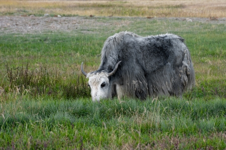 ladakh: Yak grazing in meadow at Himalayan mountains Stock Photo