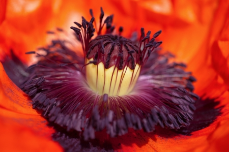 Poppy flower head inside  Macro stamens and pollen photo