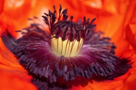 opium poppy: Poppy flower head inside  Macro stamens and pollen