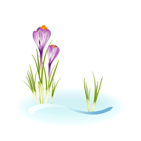 Spring crocuses growing through snow with space for your text