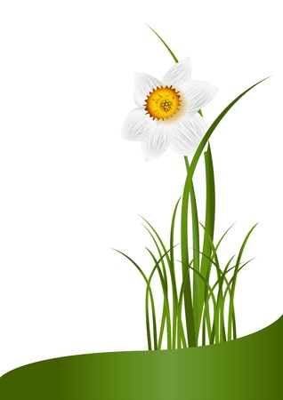 flori culture: Spring Flowers. White narcissus and green grass on white background with space for your text. Illustration