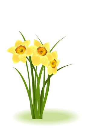 Spring Flowers. Yellow narcissus on white background with space for your text.