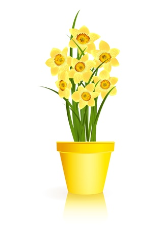 sprout growth: Spring Gardening. Yellow narcissus flowers in pot on white background