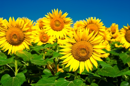 sunflower oil: Sunflower field background under blue sky