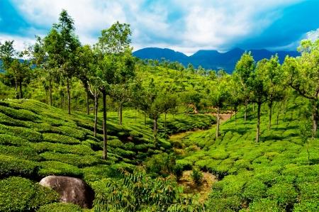 munnar: Tea plantation landscape under blue cloudy sky  Munnar, Kerala, India