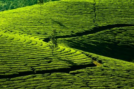 munnar: Tea plantation landscape  Munnar, Kerala, India  Nature background Stock Photo
