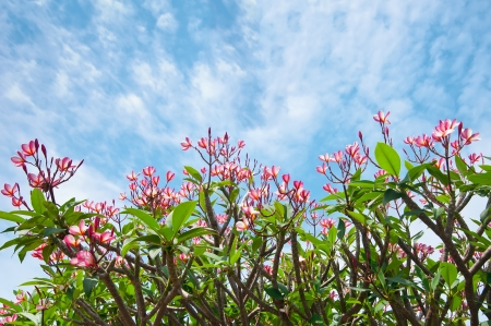 Pink flowers of tropical tree frangipani  plumeria  over blue cloudy sky background photo