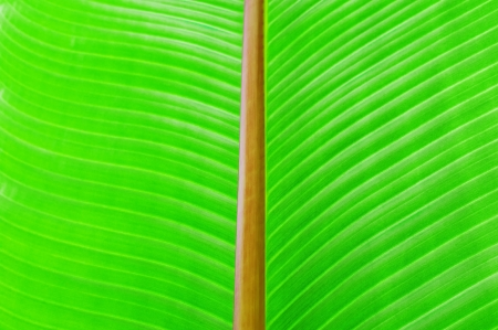 Green texture of banana leaf. Nature background photo