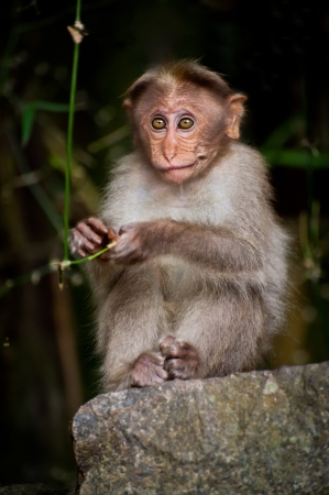 Small monkey looking around in bamboo forest. South India photo