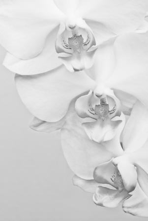 Macro shot of white orchid flower  Black   White image, gray background photo