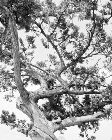 Tree  Abstract silhouette of pine tree branches  Black   White image