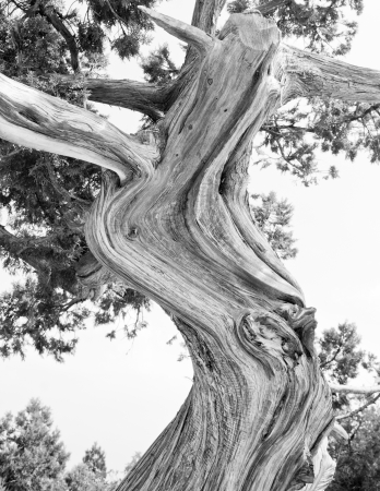 Tree  Abstract silhouette of pine tree branches  Black   White image photo
