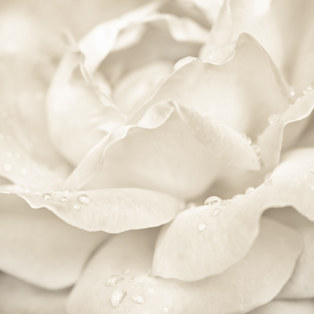 Abstract macro shot of beautiful cream rose flower with water drops. Floral background with soft selective focus, shallow depth of field photo
