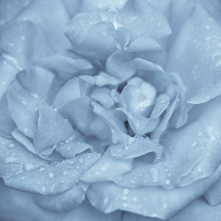 Abstract macro shot of beautiful blue rose flower with water drops. Floral background with soft selective focus, shallow depth of field