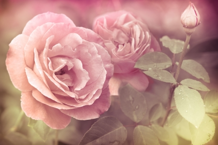 Abstract romantic pink roses flowers with water drops. Floral background with soft selective focus. Vintage style processing image with coloration.