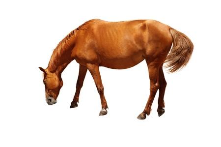 caballo bebe: Caballo de Brown que se coloca con la cabeza hacia abajo, como comer o beber agua. Aislado en el fondo blanco Foto de archivo