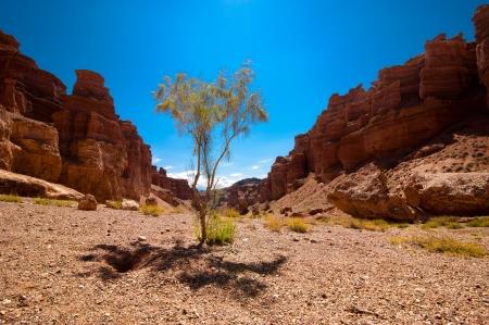 paleontology: Desert plant shrub saxaul  haloxylon  growing among rock formations at Charyn canyon under blue sky  State National Paleontology Park in Kazakhstan