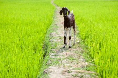 baby rice: Farm animal. Baby goat playing at rice field. South India, Tamil Nadu Stock Photo