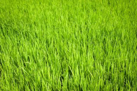 cultivo de trigo: La naturaleza de fondo. Textura verde de los campos de arroz. Sur de la India. Tamil Nadu