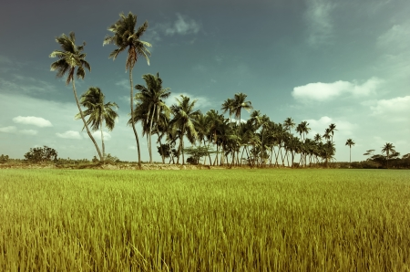 Nature background. Green texture of rice field with coconut palm trees over tropical sky. Image in vintage style. South India. Tamil Nadu photo
