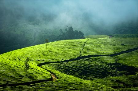 Temprano por la mañana la salida del sol con niebla en la plantación de té de Munnar, Kerala, India Fondo de la naturaleza