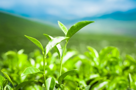agriculture india: Tea leaves at plantation landscape under blue sky  Munnar, Kerala, India  Nature background