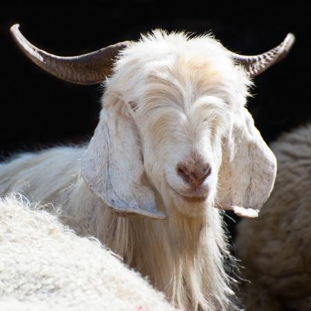 cabra: Blanco cachemira (pashmina) de cabra de granja indio montaña en Ladakh