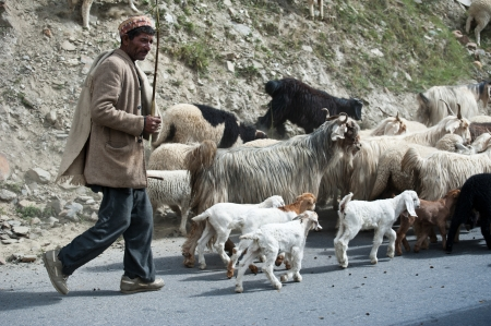 LAHOUL VALLEY, INDIA - SEPTEMBER 05: Himalayan shepherd from Lahoul Valley leads his goat and sheep flock. India, Himachal Pradesh, Lahoul Valley September 05, 2012