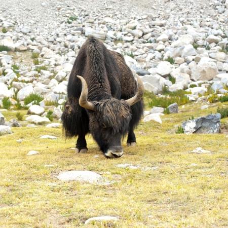 Close up wild yak in Himalaya mountains. India, Ladakh photo