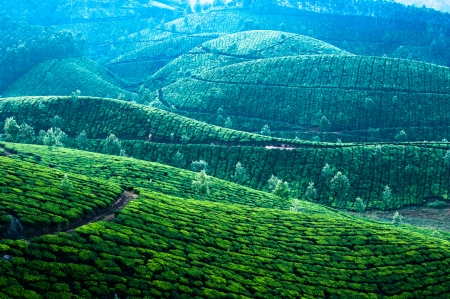 Early morning sunrise with fog at tea plantation. Munnar, Kerala, India. Nature background photo