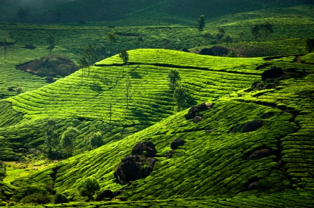 Tea plantation landscape. Munnar, Kerala, India. Nature background photo