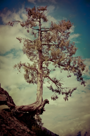 big tree: Tree growing on on the cliff rock over cloudy sky. Image in vintage style. India