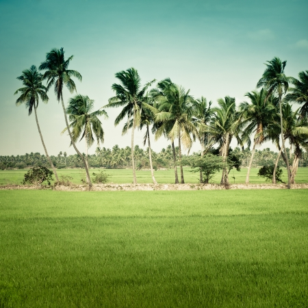 Nature background. Green texture of rice field with coconut palm trees over tropical sky. Image in vintage style. South India. Tamil Nadu